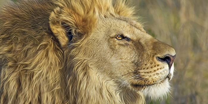 A Lion...