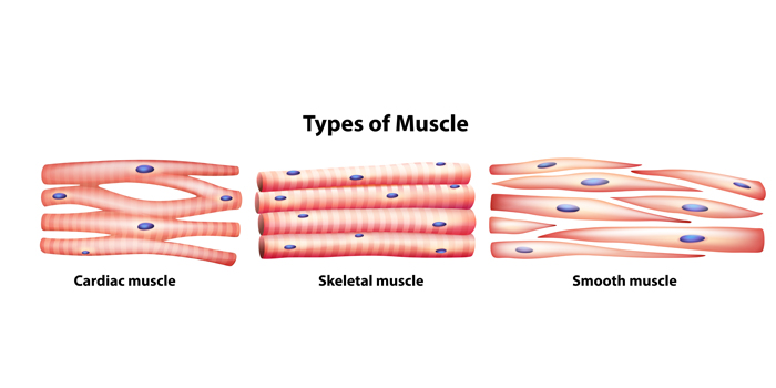 muscle fiber types and training / elite fts, Muscles