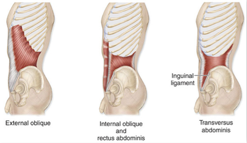 Muscles of the Abdominal Wall - (Antranik.org)