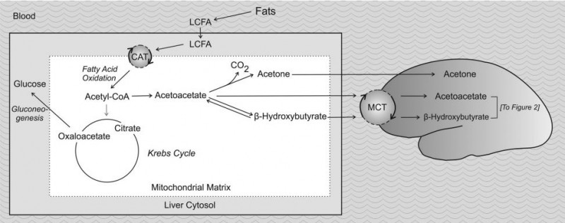 changes in intermediary metabolism